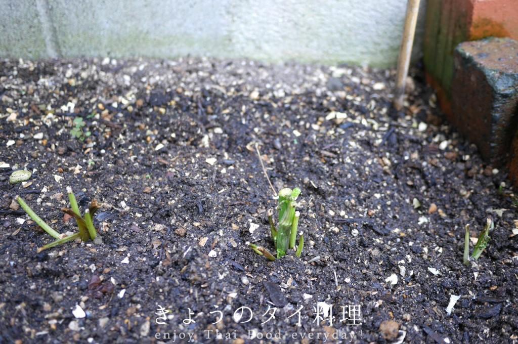 パクチーファラン栽培