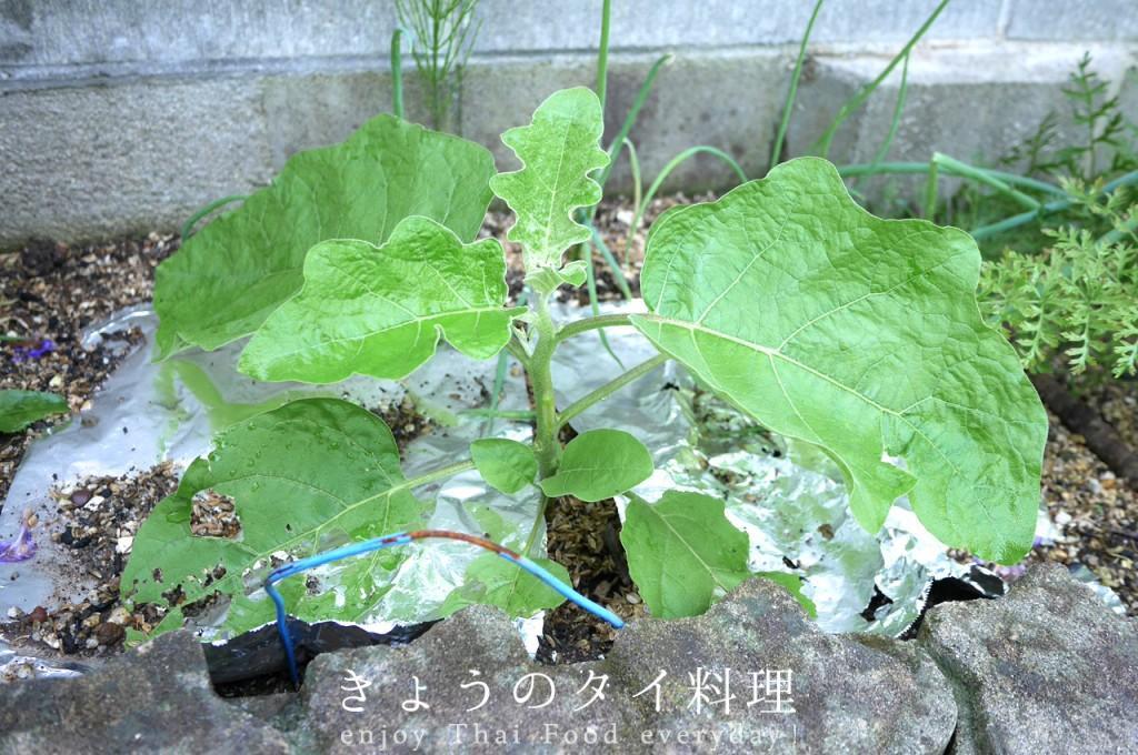 マクアポมะเขือเปราะタイ丸なす栽培
