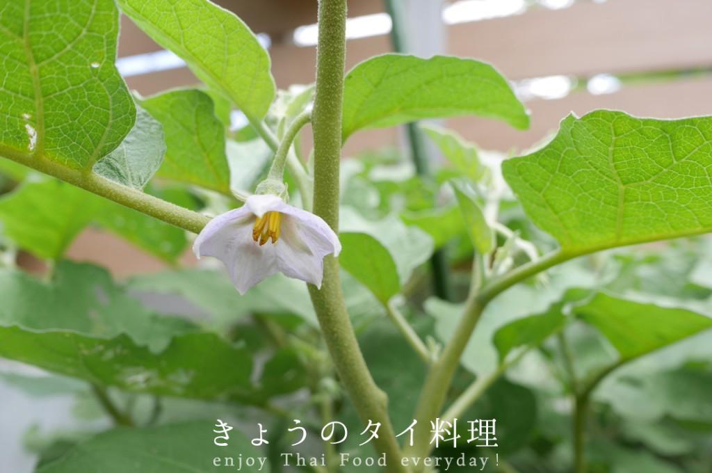 マクアポの花